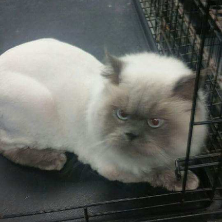 Ragdoll cat with lion clip