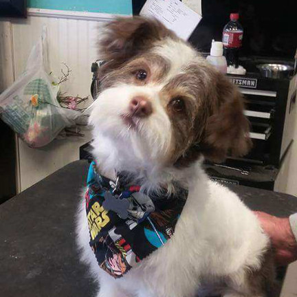 Terrier mix in schnauzer clip with full beard