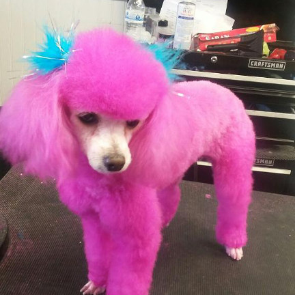 Toy poodle colored pink in honor of Breast Cancer Awareness month